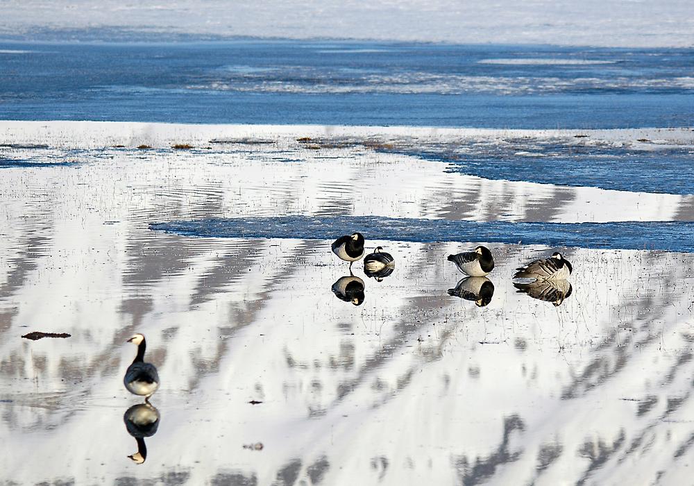 Hvitkinngjess på Svalbard