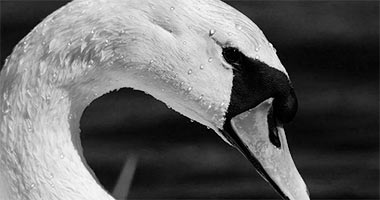 svane / fuglefotografering