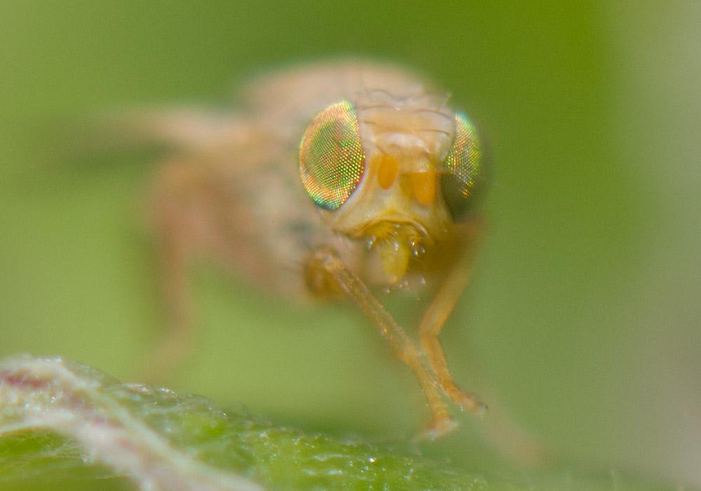 insekt makrofotografering dybdeskarphet